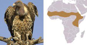 vautour de Rüppel et zone où il vit