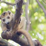 Madagascar, lémur